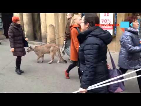 Puma na procházce v centru Prahy