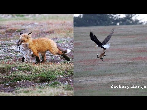 Eagle Battling Fox For Rabbit In MidAir