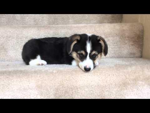 柯基寶寶要學下樓梯,才往下跳兩格..竟然使出必殺技對付主人...XD
