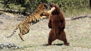 Download Video МЕДВЕДЬ В ДЕЛЕ! Медведь против льва, тигра, волка... MP3 3GP MP4