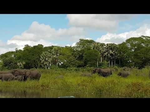 Hurja tilanne: Krokotiili hyökkää kiinni norsun kärsään