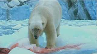 Video Polar Bears have seal for lunch MP3, 3GP, MP4, WEBM, AVI, FLV Agustus 2017