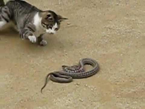 Gato x Cobra