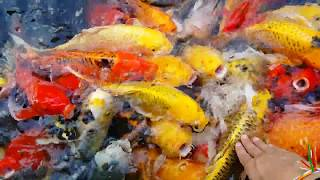 Fish one two three and Golden Fish for kid (3year),ctntvcambodia, បានមើលបានសើច