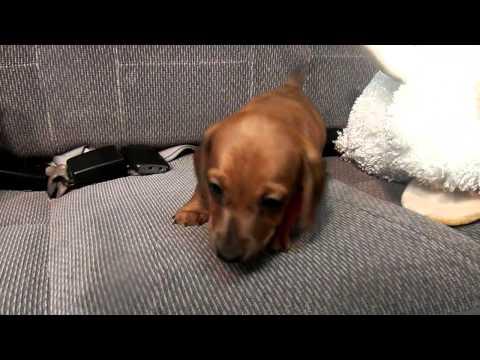 Sunny is a female dachshund