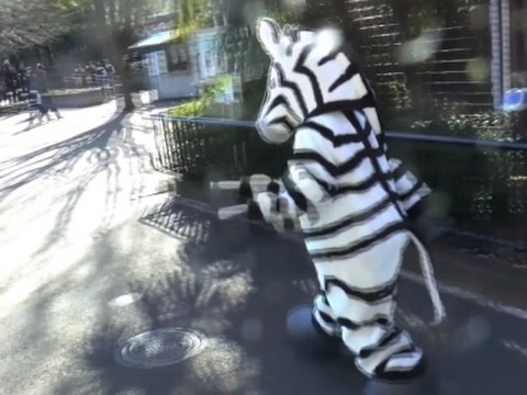 Escaped Zebra Drill At A Zoo In Japan