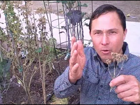 how to harvest herb seeds