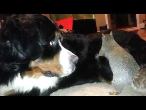 Nuts - Wally likes to hides his nut in the fur of our Bernese Mountain dog Jax. Check out more of Wally hiding thing in Jax here http://youtu.be/eKK98MpqujA.