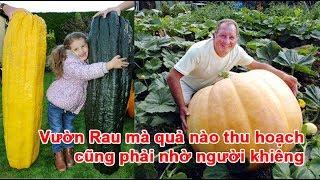 Vườn Rau mà quả nào thu hoạch cũng phải nhờ người khiêngVườn Rau, Vườn Rau khổng lồ, rau không lồ, quả khổng lồ, bắp cải khổng lồ, dưa chuột khổng lồ, bí khổng lồTheo vnexpress.net