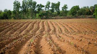 Интересный для нас способ выращивания картошки мы увидели в Таиланде. Там её садят совсем не так как у нас. Смотрите видео, мне понравился их способ.