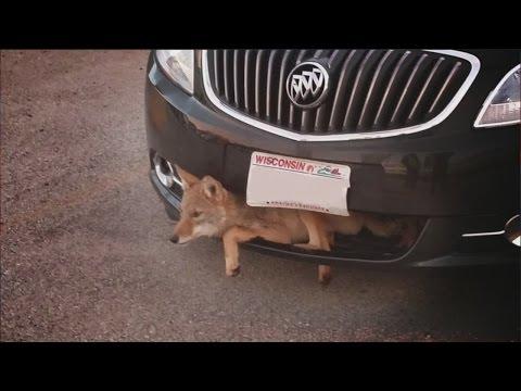 Un coyote coincé dans le grillage d'une voiture
