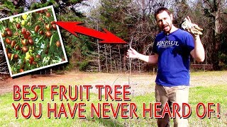 The Best Fruit Tree You Have Never Heard Of! (Fruit Tree Profile)
