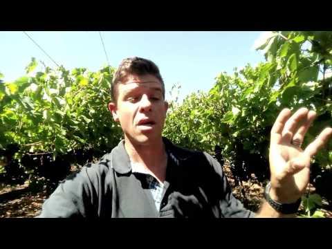 Grapevine Soil Fertilization Series | BUD BREAK | part 2