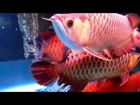 Hồ cá rồng đẹp ( hồ cá rồng 3D)/ The aquarium beautiful dragon (dragon aquarium 3D)