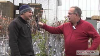 #903 Maracuja - Passionsfrucht im Kübel oder Topf pflanzen