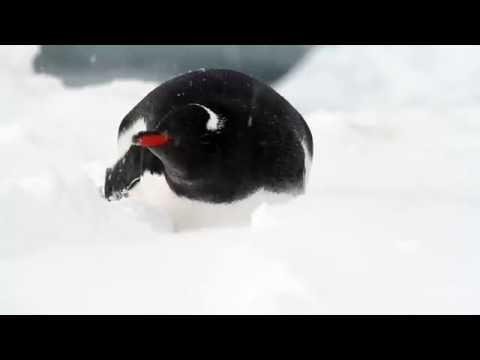 Zabawne pingwiny (Funny penguins)