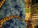 Pastel ball pythons