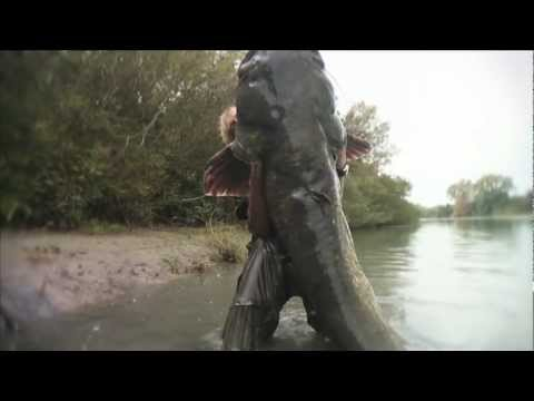french angler catches an enormous catfish!
