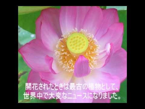 関東学院六浦小学校のハスが開花