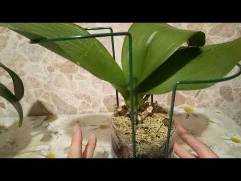 Сниженный тургор листьев орхидеи .Состояние через неделю. - DomaVideo.Ru