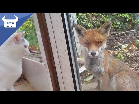 2 Cats Meeting a Wild Fox