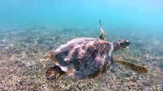 Heron Island Australia  City new picture : Heron Island Diving HD filmed with GoPro