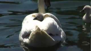 Baby Swan Rides On Mother's Back (SF, 2012)