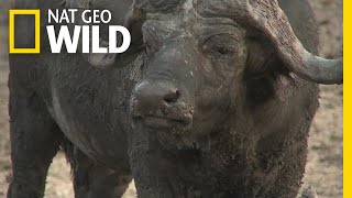 These African Buffalo Have Each Other's Backs | Nat Geo Wild by Nat Geo WILD