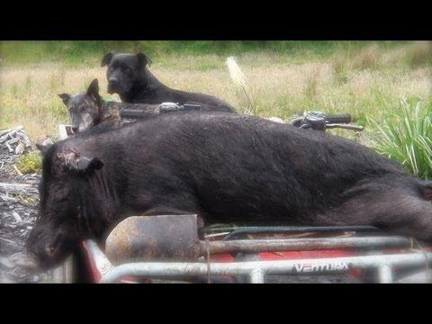 Hunting wild boar (hog) in New Zealand part 5