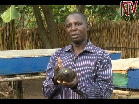 On The Farm: Making Oil And Medicine From The Avocado