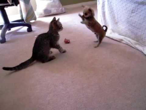 Dude the Chihuahua Puppy vs. Kitten