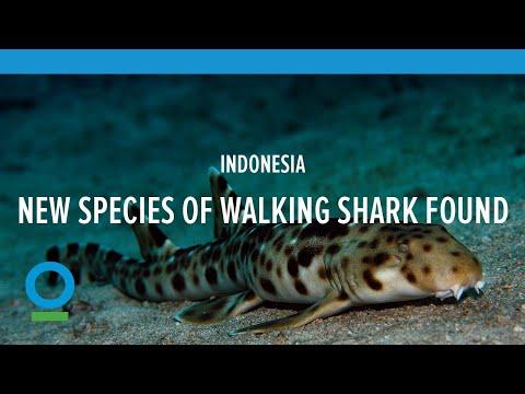 Découverte d'un » requin marcheur» en Indonesie