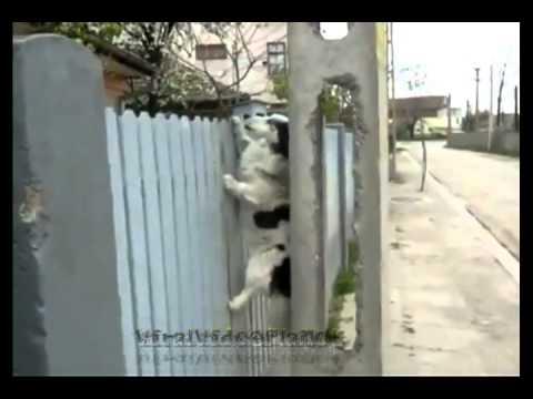 Chó leo rào chuyên nghiệp