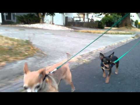 two cute little Chihuahua learn to walk next to a bike