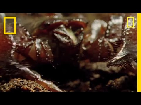 SCORPIONS - The Indian Red Scorpion is considered the most lethal of all scorpions. But despite its reputation, it only stings as a last resort. Shunning human contact, ...