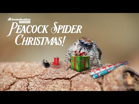 Adorable Peacock Spiders Celebrate Christmas