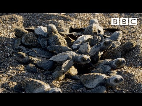 Baby Turtle's First Steps - BBC