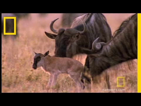 Wildebeests - Wildebeest in the millions make their annual migration through East Africa.