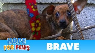 After being used for breeding, little Brave was abandoned on the streets. by Hope For Paws