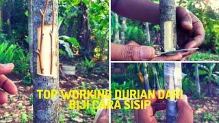 Video Cara toping pohon durian dari biji agar cepat berbuah MP3, 3GP, MP4, WEBM, AVI, FLV Agustus 2019