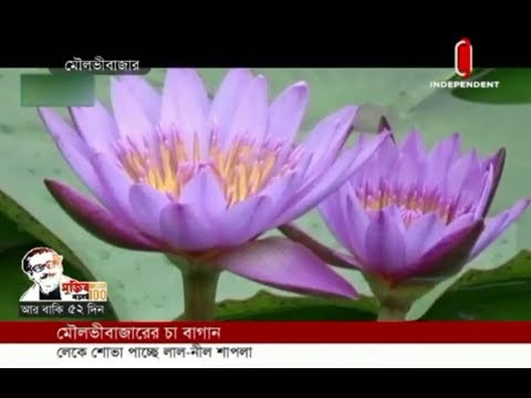 Water Lily blooms at Moulvibazar tea garden lake (24-01-2020) Courtesy: Independent TV
