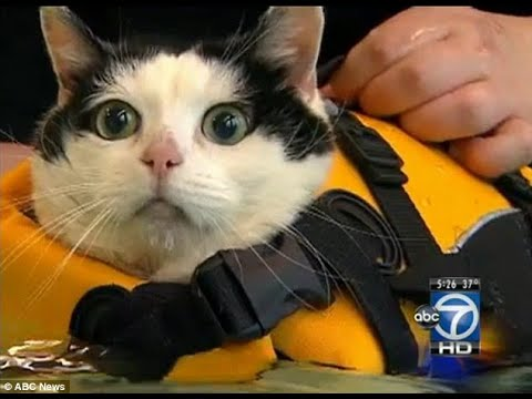 Holly the Swimming Cat – News Anchor Can't Control Herself!
