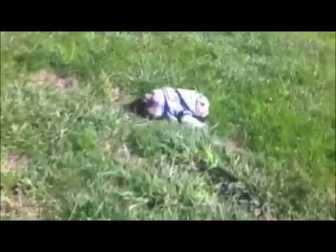 Bulldog puppy learns how to roll down hill