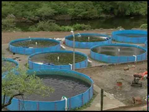 Cria de tilapia videos videos relacionados con cria de for Como hacer un estanque para mojarras