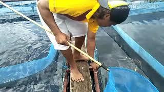Video Mancing ikan Liar di sela sela keramba pakai karet ban bekas MP3, 3GP, MP4, WEBM, AVI, FLV April 2019