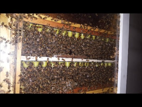 Nicot (Queen Rearing) Test In Observation Hive.