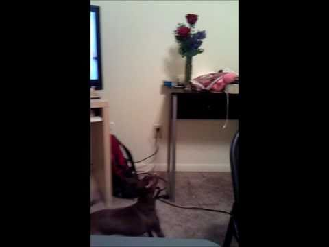 chihuahua – italian greyhound dog barking at flowers