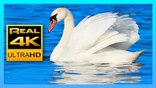 Download Lagu 4k Peaceful Lake Sounds & Relaxing Piano Music 🐦 Canadian Goose, Swans and Seagulls 2 hours 4K UHD Mp3