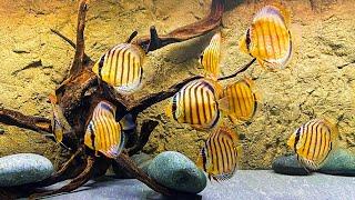 75 Gallon Wild Discus Aquarium [Dean's Fish Room] by Aquarium Co-Op