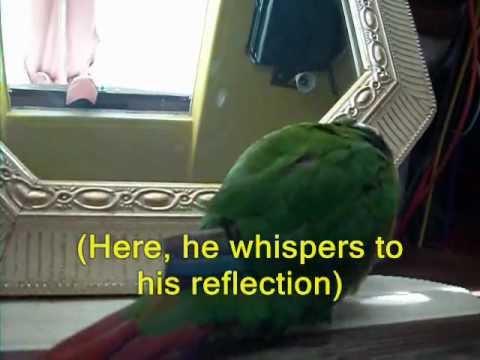 Green Cheek Conure; Parrot Talking, Tricks, Funny Behavior